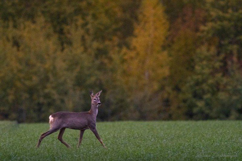 россия,парк,олени,животные,природа,wwf, фототур, анималистика,олень Грацияphoto preview