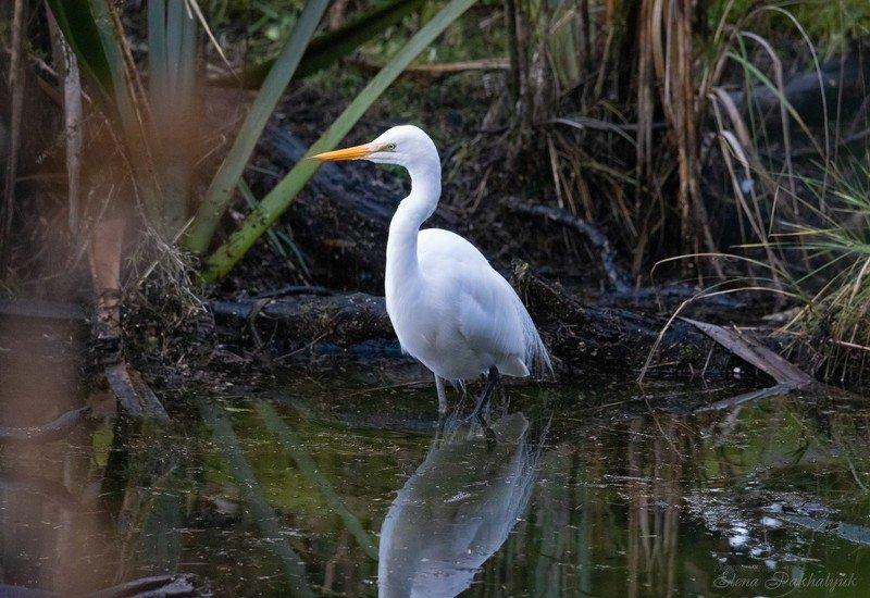 природа,новая зеландия,белая цапля,цапля,птицы,животные,фототур,бердвочинг Красотка в беломphoto preview