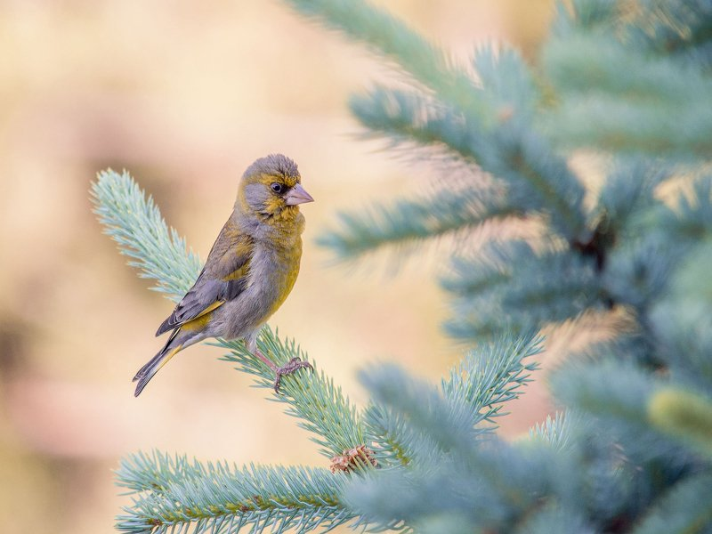 птица, зеленушка Зеленушкаphoto preview