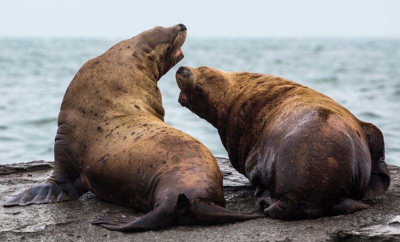 сивучи, морские львы, камчатка, животные Назревает конфликтphoto preview