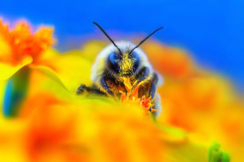 природа, красота, шмель Шмелиный вальсphoto preview