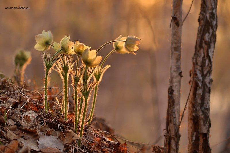 природа, весна, вечер, закат, подснежники, сон-трава, прострелы, лес Первенцыphoto preview