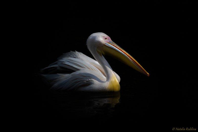 плюмерия,пеликан,птица,природа,животные,озеро,настроение,темнота,птицы,свет,тень Плюмерия...photo preview