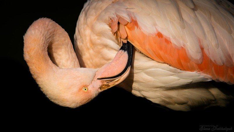 птицы,природа,крым,розовый,фламинго,феодосия,опук,бердвочинг,портрет,россия,украина,животные Фламингоphoto preview