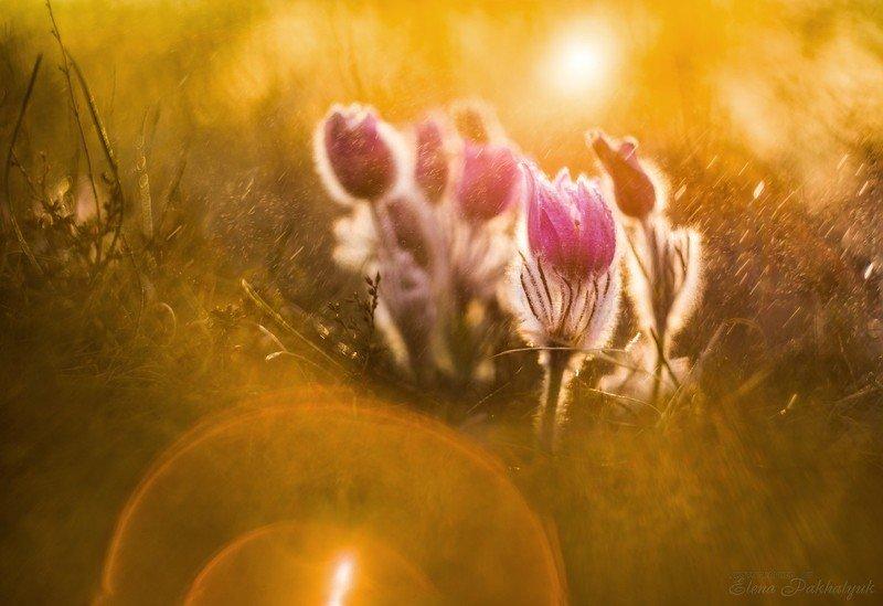 макро,первоцвет,сонтрава,крым,весна,солнце,март,природа,цветы,день,дождь Солнечные зайчикиphoto preview