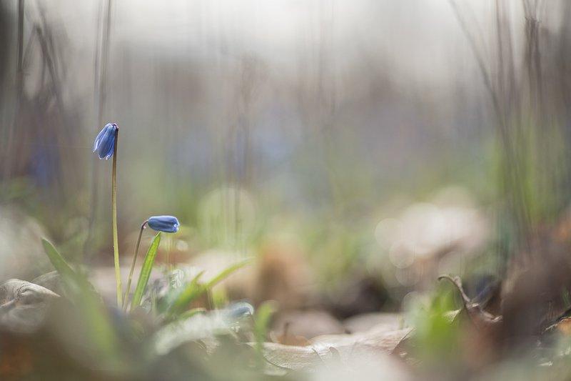 пролески, первоцветы, свет, цвет,март, весна, позитив, геннадий мещеряков, воронеж, Время весны...photo preview