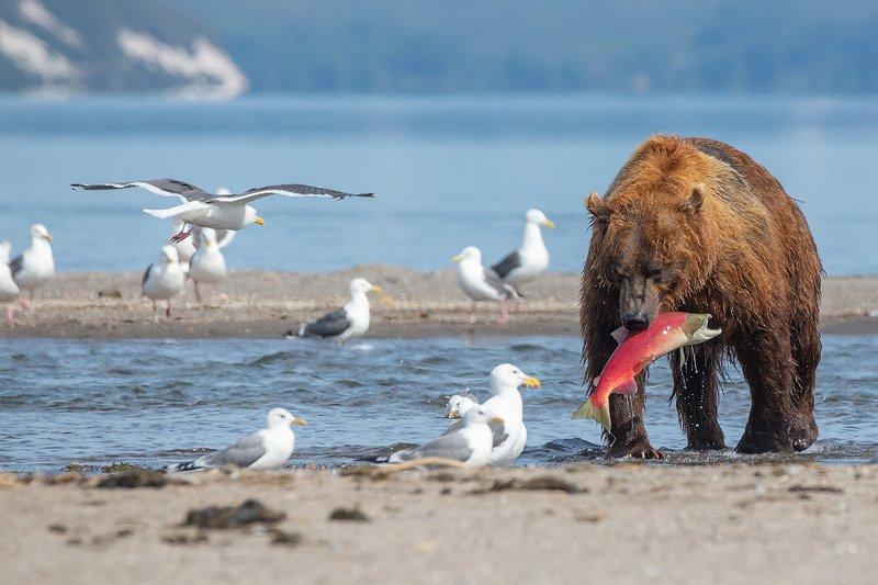 камчатка, медведь, природа, путешествие, фототур, животные На обедphoto preview