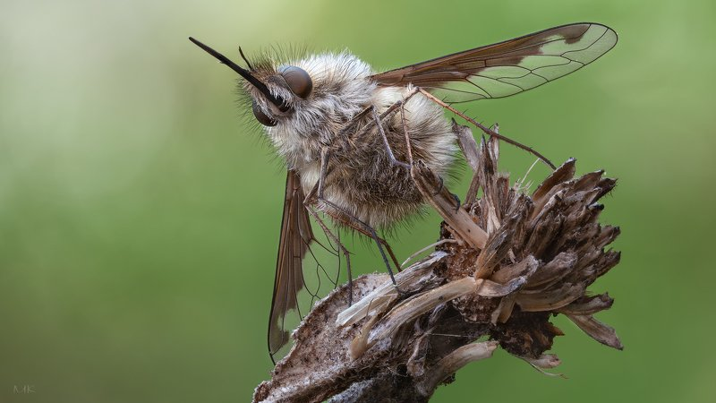 муха, жужжала ,bombyliidae Жужаphoto preview