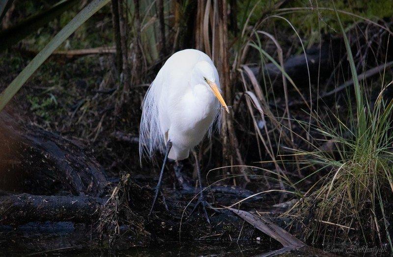 природа,новая зеландия,белая цапля,цапля,птицы,животные,фототур,бердвочинг Белая цапля на охотеphoto preview