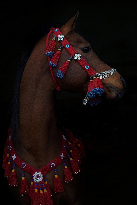 лошадь, конь, домашние животные, скакун, жеребец, арабская лошадь, сирия, араб, узда, сбруя АРАБСКИЙ ЖЕРЕБЕЦ НИЗАМИ-АРИЭЛЬphoto preview