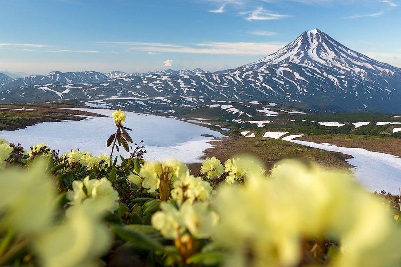 камчатка, пейзаж, природа, путешествие, фототур, вулкан, цветы, снег Цветочная полянкаphoto preview