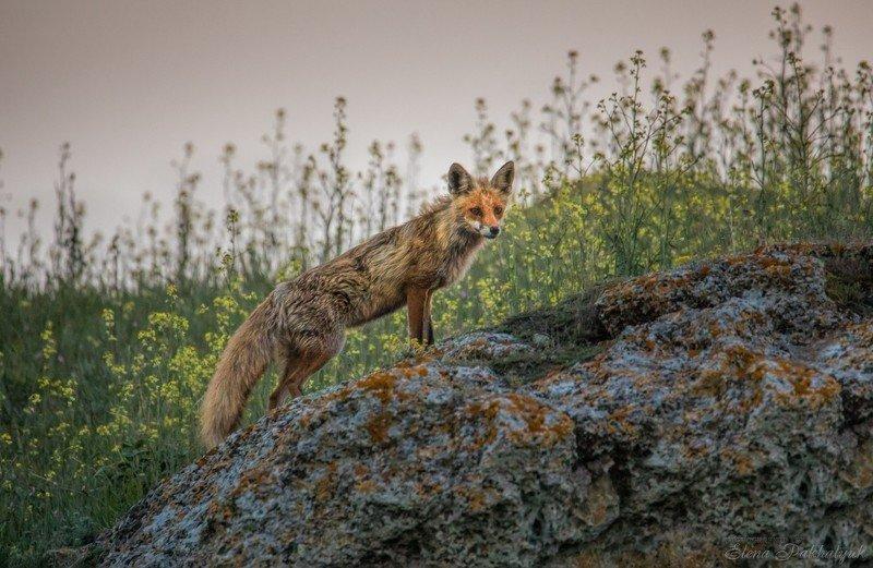 лиса,животные,крым,россия,природа, степь,весна,фототур Лисphoto preview