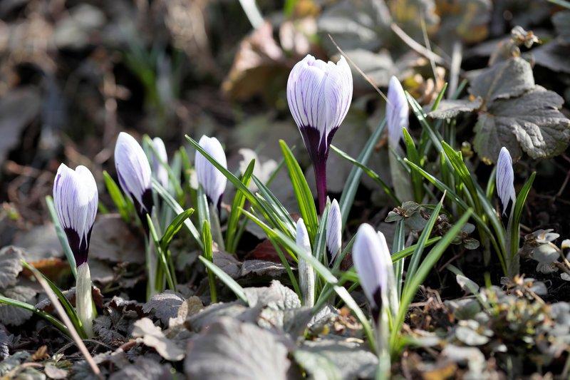 крокус, природа, цветы, весна Крокусыphoto preview