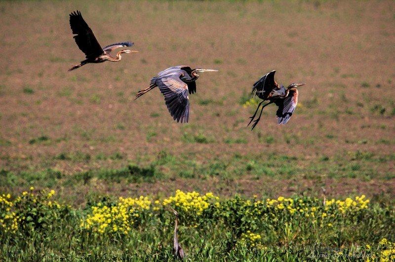 природа,птицы,серая цапля,цапля,весна,крым,россия,украина,опук,бердвочинг,фототур Полет photo preview