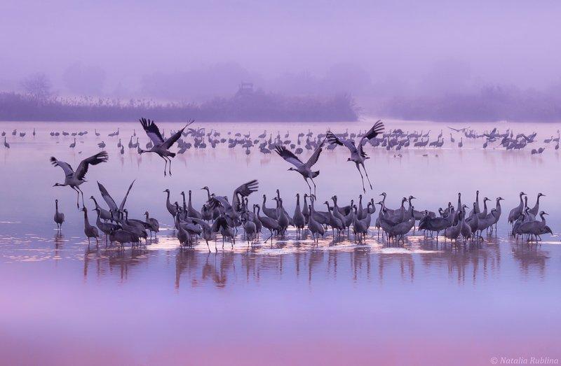 природа,птицы,животные,журавли,рассвет,утро,туман,стая птиц,магия природы,озеро Фиолетовое утро...photo preview