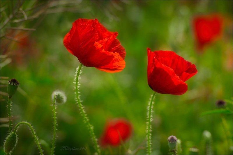 цветы, флора, весна, макро Красный весеннийphoto preview