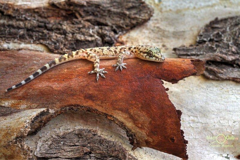 hemidactylus, turcicus, турецкий, полупалый, геккон, израиль, israel, эвкалипт Под корой эвкалиптаphoto preview