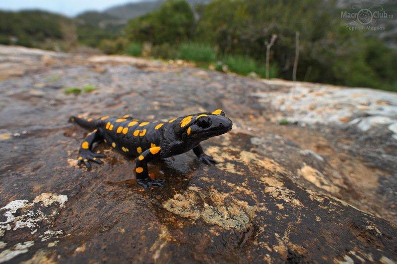 ближневосточная, огненная, саламандра, near eastern, fire, salamander, salamandra, infraimmaculata, израиль, israel Саламандраphoto preview