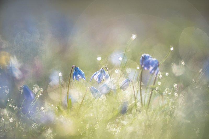 пролески, первоцветы, свет, цвет,март, весна, позитив, геннадий мещеряков, воронеж, Феерия солнца и весенних цветочков.photo preview