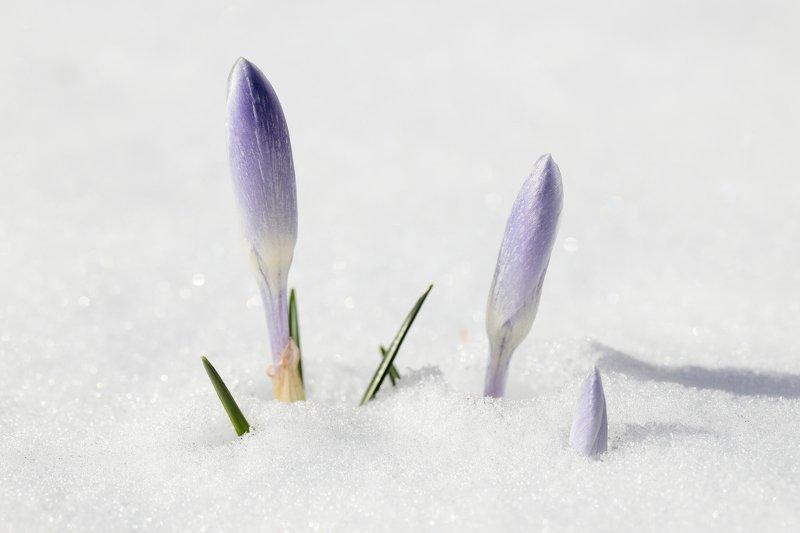 крокус, снег, весна, природа, цветы Весне дорогуphoto preview