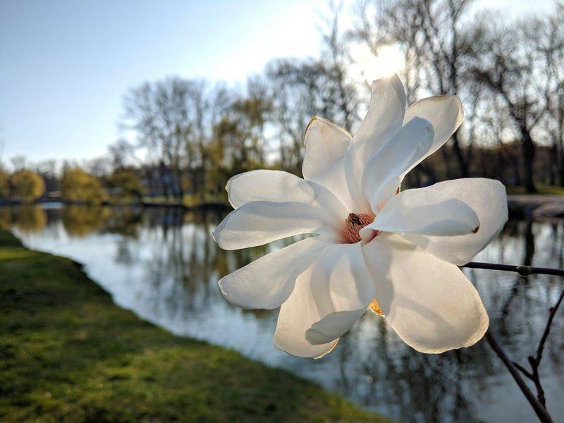 магнолия, цветы,цветение,весна,природа,пейзаж,макро,nature,вечер,запорожье,апрель,pictures,свет,ракурс,тепло,релакс Магнолияphoto preview