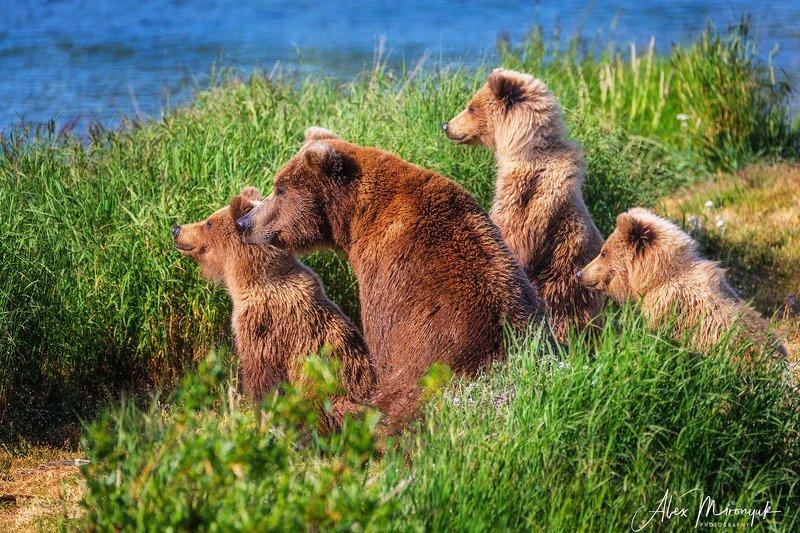 гризли, медведь, медвежонок, аляска, река, катмаи, бурый, Командаphoto preview