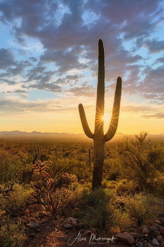 кактус, сагуаро, аризона, пустыня, закат, солнце, луч, В кактусовом лесуphoto preview