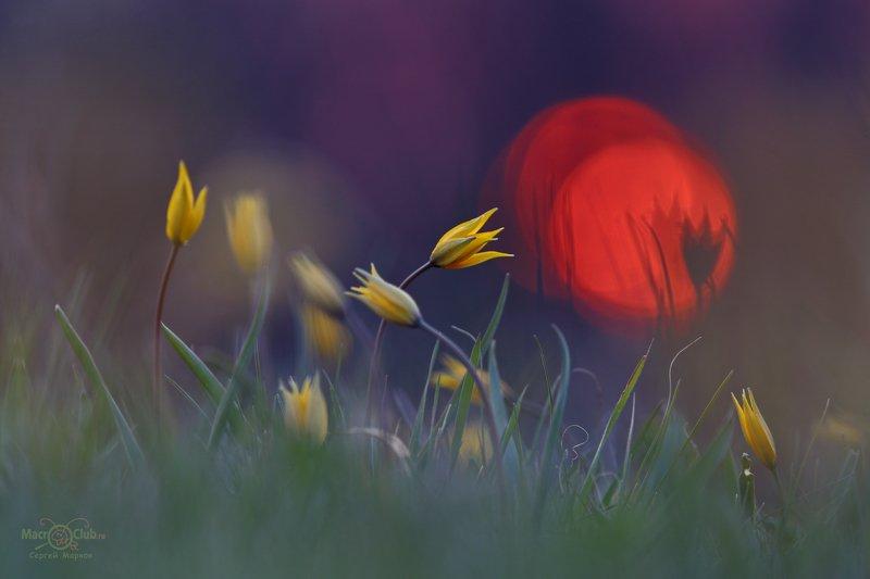 тюльпан,дубравный,биберштейна,tulipa,biebersteiniana,солнце,закат,quercetorum,самарский, лес Когда догорает закатphoto preview