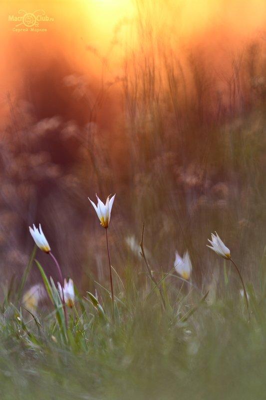 тюльпан,дубравный,биберштейна,tulipa,biebersteiniana,солнце,закат,quercetorum,самарский, лес,tricolor,niphontiana Вечерняя позолотаphoto preview