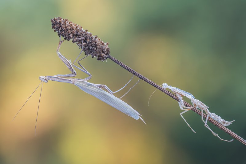 macro Mantis and exuviaphoto preview