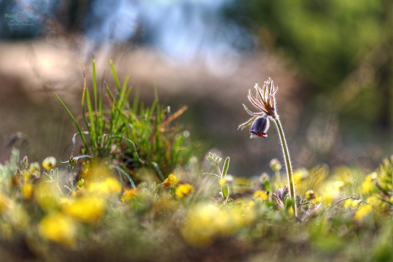 pratensis, pulsatilla, луговой, прострел, самарский лес, сон-трава Весенняя палитраphoto preview