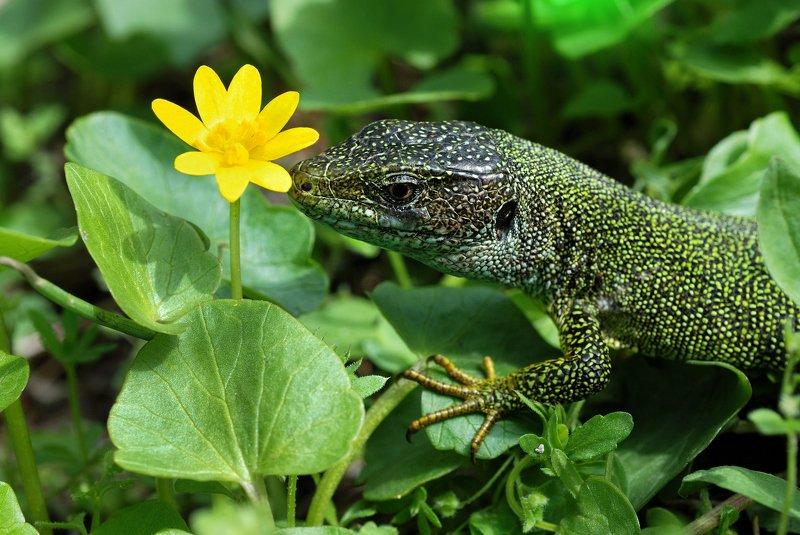 ящерица,макро,весна,животные,природа,lizard,цветы,позирует,nikon,зелень,взгляд, ***photo preview
