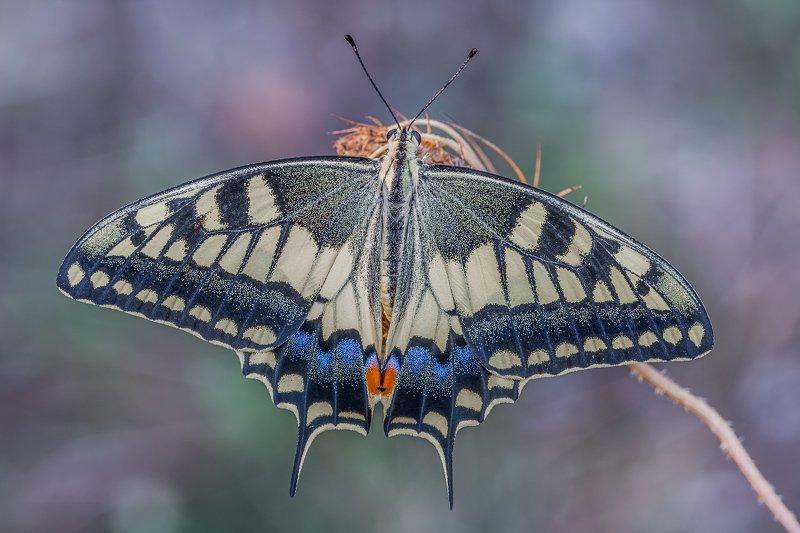 macro Papilio machaonphoto preview