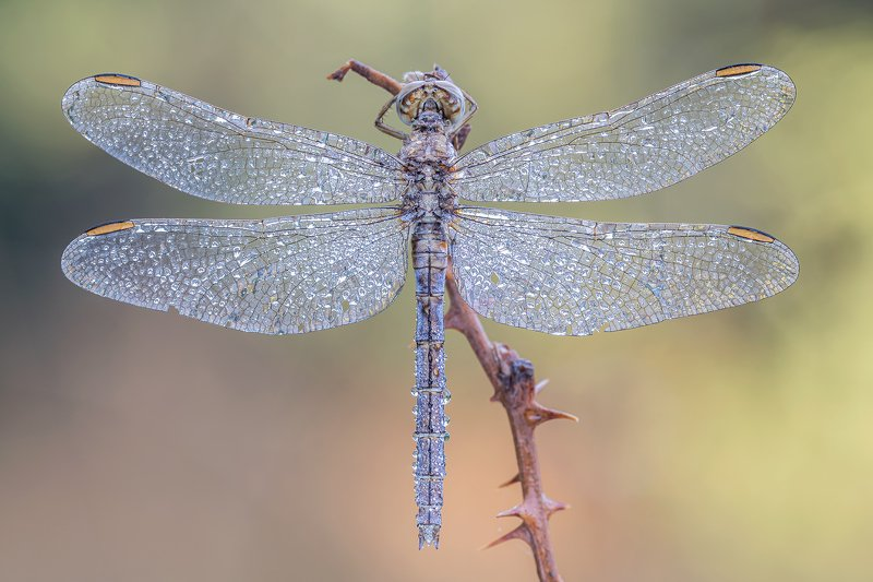 macro Dragonflyphoto preview