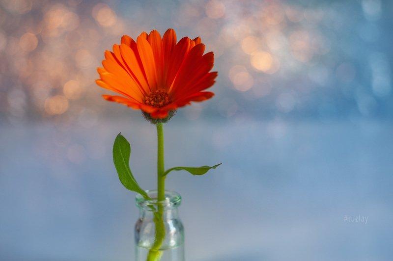 цветок календулы, календула, гелиос, боке Про полезный цветокphoto preview