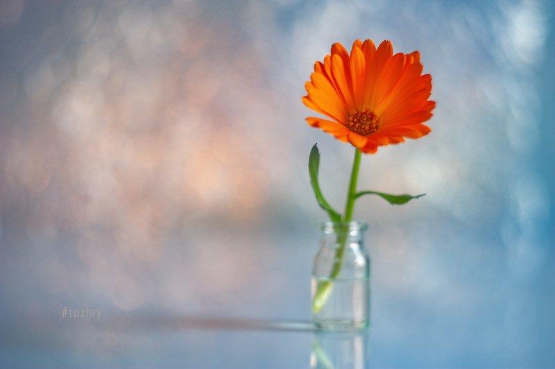 цветок календулы, календула, гелиос, боке Про полезный цветок #2photo preview
