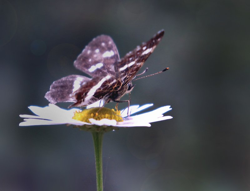природа лето цветы цветок трава флора красота  насекомое бабочка сибирь Бабочки Сибири...photo preview