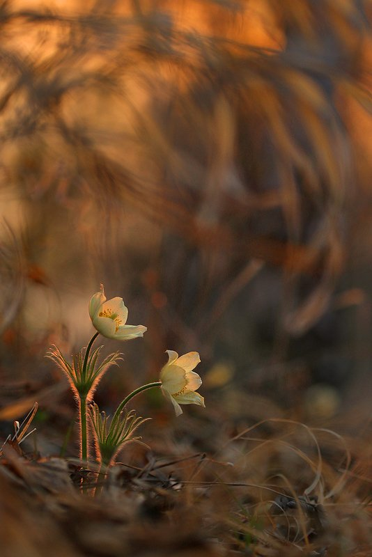 подснежник, сон-трава, прострел, весна, вечер, закат В дремучих зарослях сухой травы...photo preview