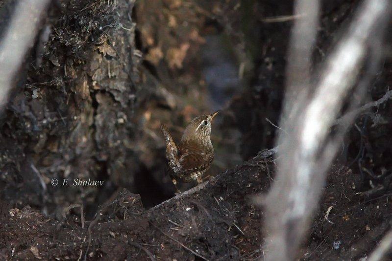birds,eurasian wren,troglodytes troglodytes,крапивник,обыкновенный крапивник,птица,птицы,фотоохота Крапивника видишь ? А он есть !photo preview