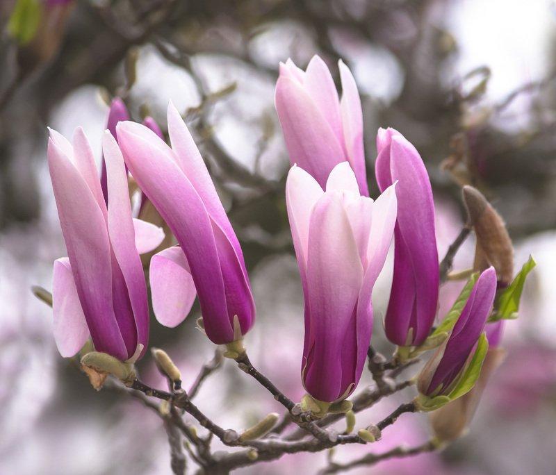 природа,цветы,магнолия,весна,цветение, Хоровод...photo preview