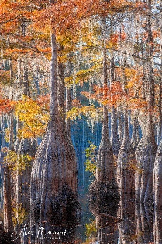кипарис, болото, озеро, отражение, вода, туман, утро, осень, фото-тур, США Осень на кипарисовом болотеphoto preview