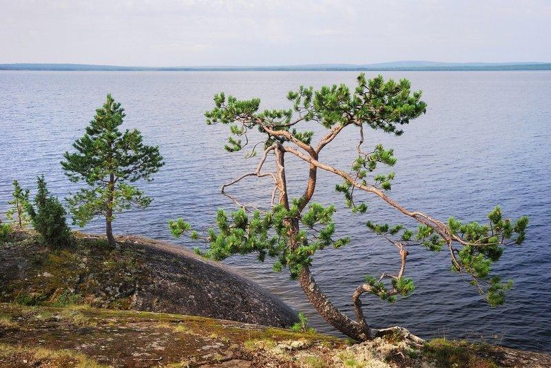 кольский, сосны, озеро, умба Канозероphoto preview