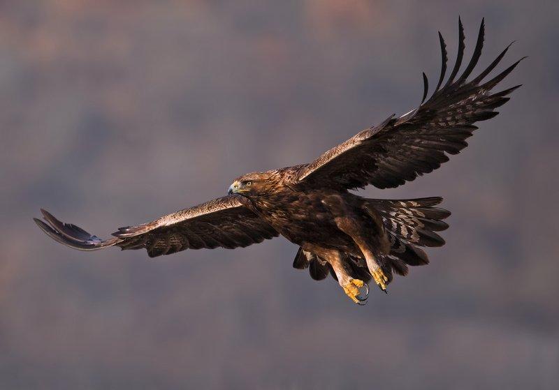 golden eagle, aquila chrysaetos, беркут Golden eaglephoto preview