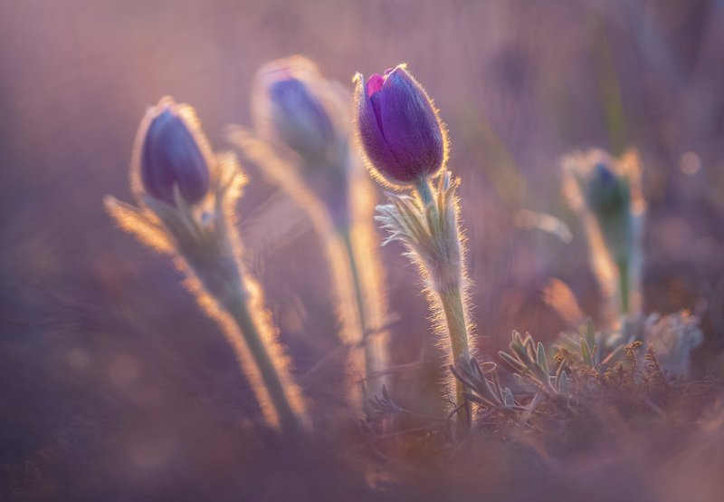 сон-трава, анемоны ,цветы, поляна, закат солнца , прострел раскрытый,ветреница раскрытая ,многолетнее растение ,травянистое растение Сон - траваphoto preview