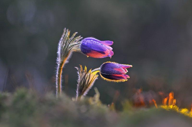 сон-трава, весна, природа, минск, уручье ***photo preview