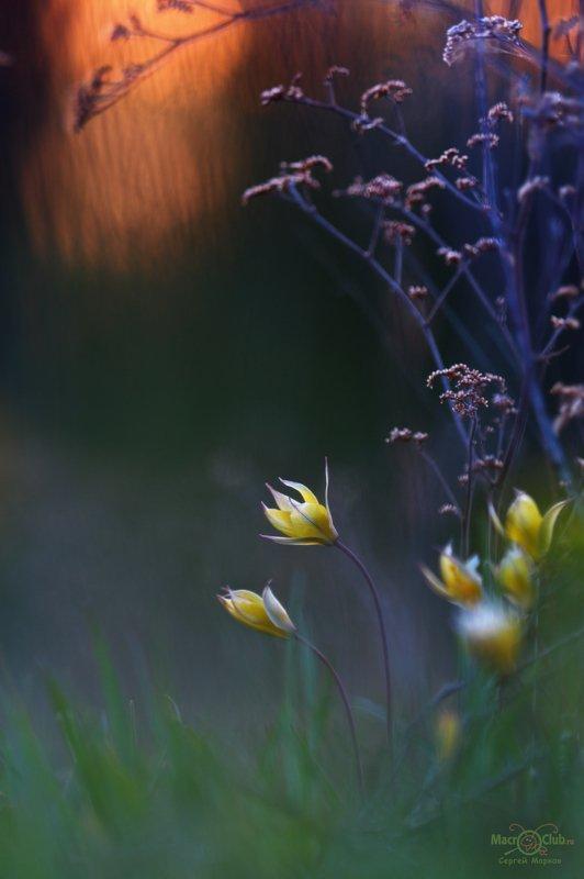 тюльпан,дубравный,биберштейна,tulipa,biebersteiniana,закат,quercetorum,самарский, лес После закатаphoto preview