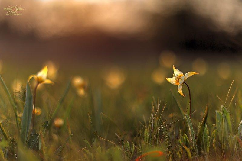 тюльпан,дубравный,биберштейна,tulipa,biebersteiniana,quercetorum,самарский, лес Тёплый вечерphoto preview