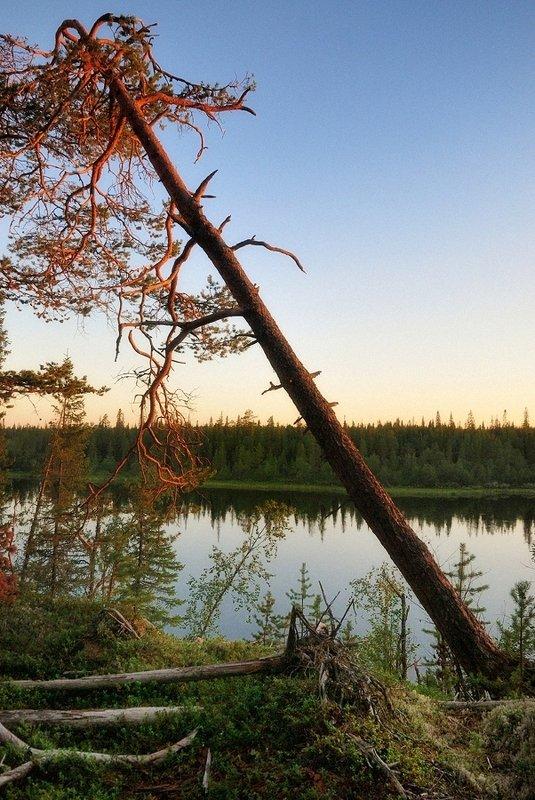 кольский, сосна, умба, закат, вода Берег Умбы на закатеphoto preview