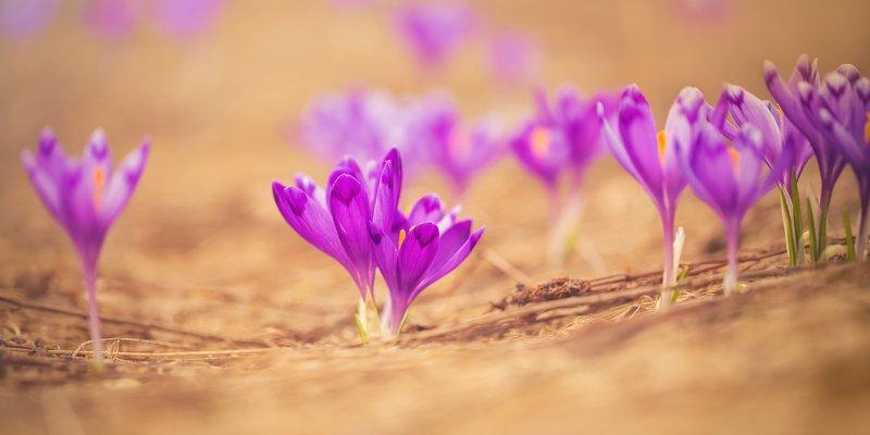 цветы, крокусы, шафран, весна, украина, воловец ,пейзаж, боржава Весенние цветыphoto preview