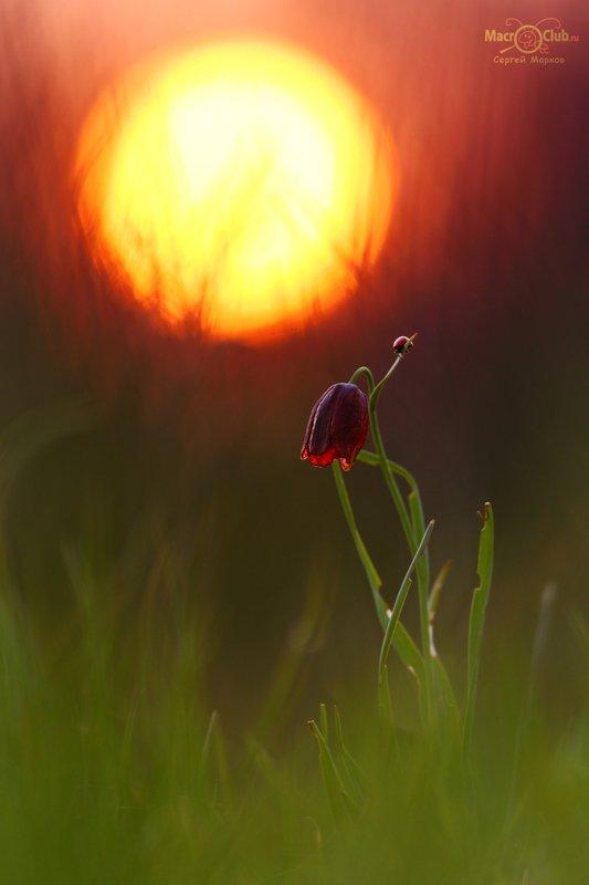 рябчик, малый, шахматовидный, fritillaria, meleagroides, самарский, лес, солнце, закат, божья коровка, семиточечная, Hot sunsetphoto preview